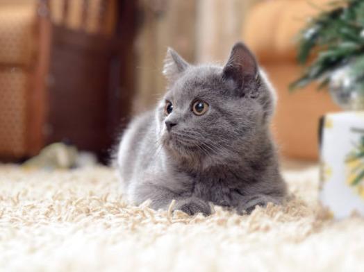 2018-09-11_09h51_26 ロシアンブルーのよだれが気になる?その原因は猫風邪かも?