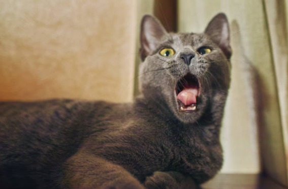 2018-09-13_23h42_15 ロシアンブルーの歯周病予防にはカナガンキャットフードが良い?