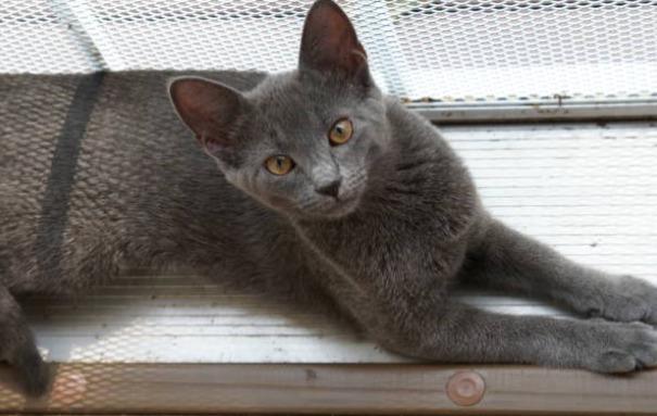 2018-09-13_23h44_11 ロシアンブルーのよだれが気になる?その原因は猫食道拡張症?