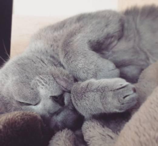 2018-09-21_23h34_45 ロシアンブルーのよだれが気になる?その原因は猫ウイルス性鼻気管炎かも?